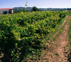 terras de conclave vinhas 1